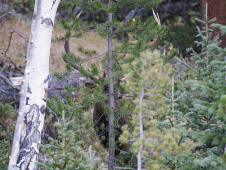 Bull elk camouflaged behind pine trees.  Rocky Mountain National Park