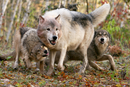 Close up image of a wolf pack demonstrating submissive behavior to the alpha male.  Animals in captivity