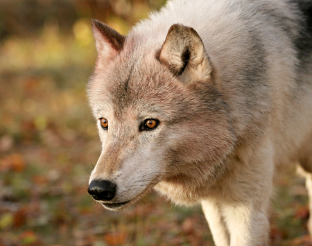 Close up, head and shoulders image of a gray wolf Stock Photo