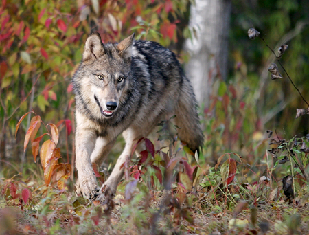 Close up image of a gray wolf, running. 写真素材