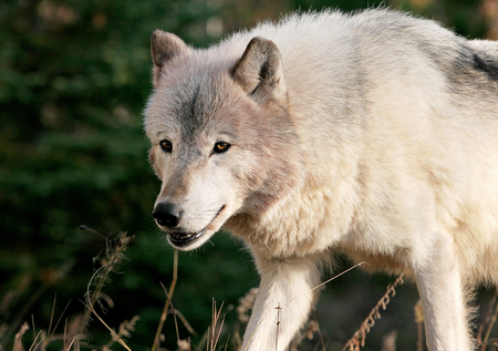 Close up, head and shoulders image of a gray wolf, in an autumn scene