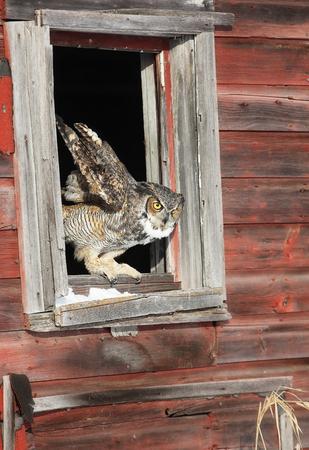 Great horned owl, preparing for flight from open window in an old barn.  Winter in Minnesota.