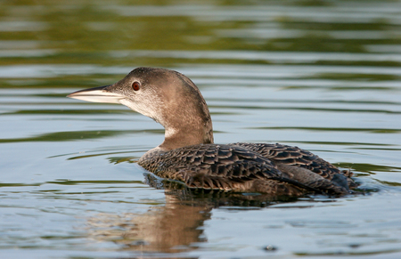 Young common loon with water reflection Stock Photo