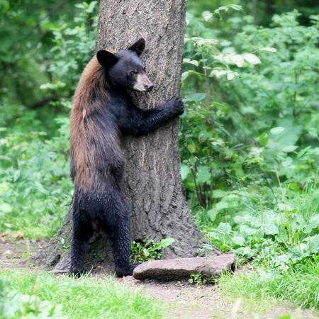 American black bear tree hugger Stock Photo
