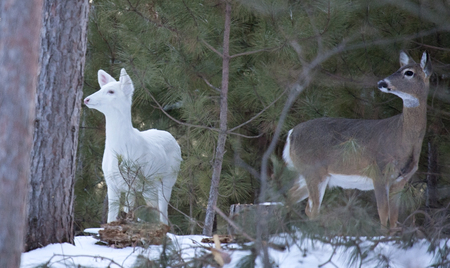 A white, white-tailed doe stands along side of a more common white-tail deer, in winter. Stock Photo
