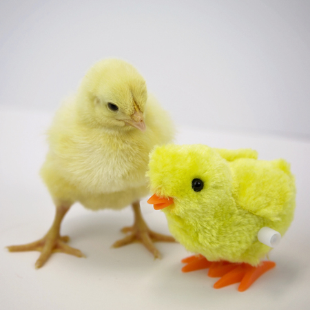 Young chick looks at small chicken toy.