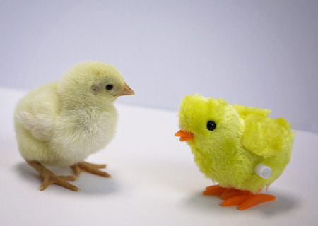 Young, meat chick looks at small chicken toy.  Jumbo Cornish Rock Cross bird