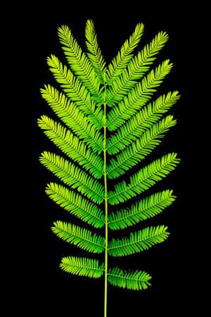 pennata: Acacia Pennata leaf texture isolated on black
