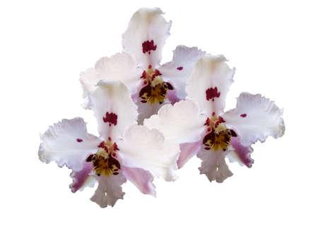 Orquídeas em fundo branco Banco de Imagens