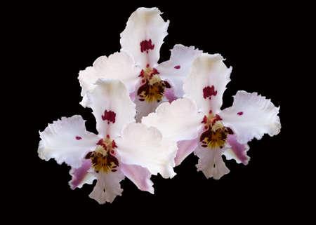 Orquídeas em fundo preto
