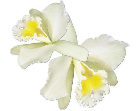 Orquídeas los Fundo branco