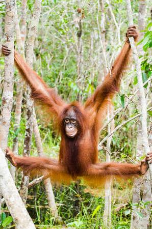 Orang-Utan hangin 39in die Bäume in der Nähe von Camp Leakey Kalimantan Indonesien Standard-Bild