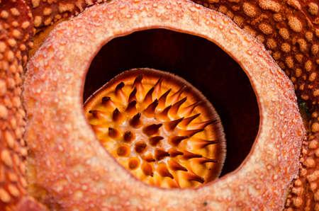 sumatra: Rafflesia arnoldii detail in West Sumatra Indonesia Stock Photo