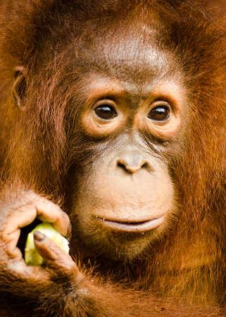 orang: Young orang utan in Tanjung Puting National Park Kalimantan Indonesia