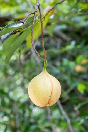 Muskat Frucht wächst auf einem Baum über die Ernte zu bekommen