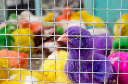 Painted Hühner in einem Käfig
