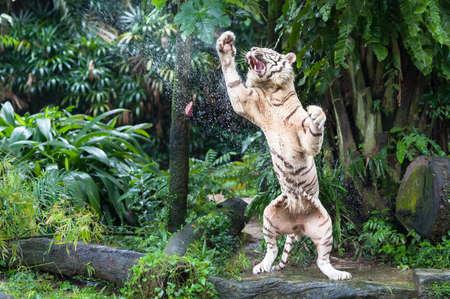 Feeding time for a white tiger
