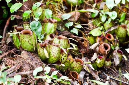 Bornean fleischfressende Pflanzen, Nepenthes ampullaria. Standard-Bild
