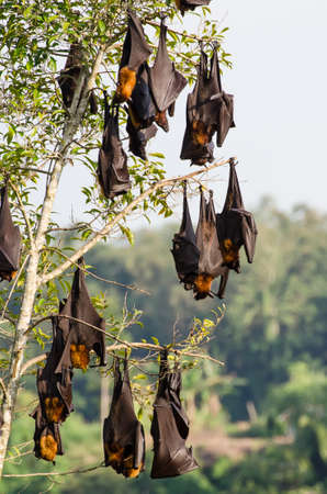 Large fruit bats flying foxes hanging upside dow in a tree.