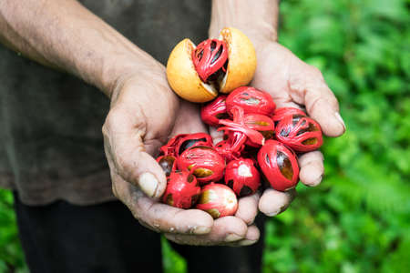 Freshly harvested nutmeg from the Banda Islands, Maluku, Indonesia