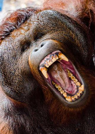 Verärgerte Alpha-Männchen Orang Utan zeigt seine Zähne. Standard-Bild