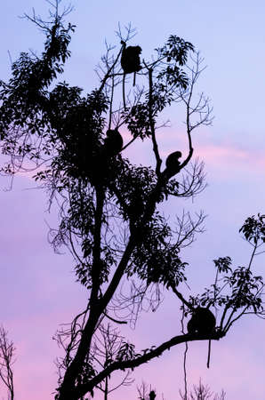 Nasenaffen in einem Baum in der Abenddämmerung, Tanjung Nationalpark, Kalimantan, Indonesien