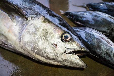 Thunfisch auf einem Fischmarkt in Matar, Sri Lanka Frisch gefangener