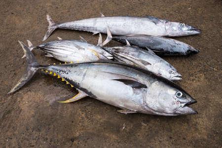fresh fish: Freshly caught tuna at Matare fish market, Sri Lanka