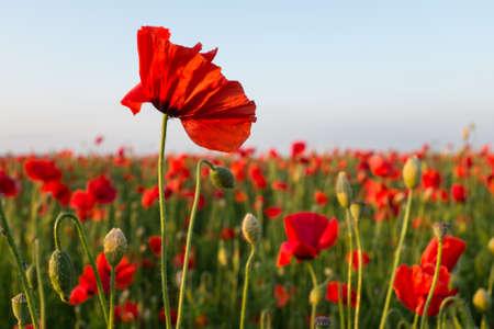 early summer: poppy flower