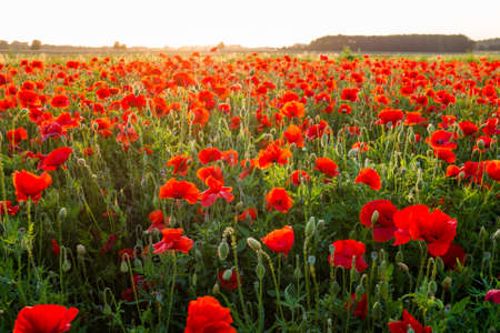 Field of red poppies in summer