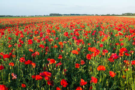 Field of bright red poppies in summer