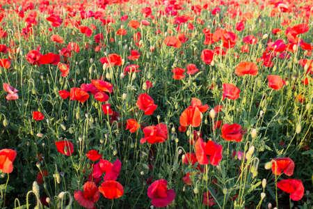 Wiese mit schönen hellen roten Mohnblumen im Frühjahr