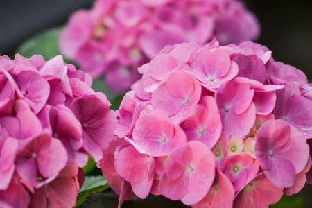 hydrangea flower: pink hydrangea flower Stock Photo