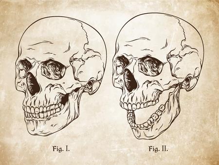 anatomically: Vector hand drawn line art anatomically correct human skulls set. Da Vinci sketches style over grunge aged paper background