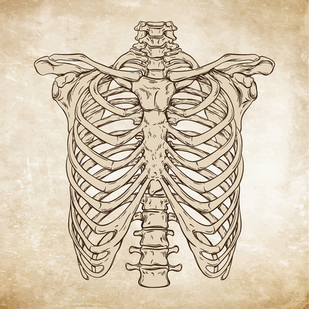 Hand drawn line art anatomically correct human ribcage. Da Vinci sketches style over grunge aged paper background vector illustration