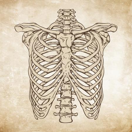Hand gezeichnete Linie Kunst anatomisch korrekte menschliche Brustkorb. Da Vinci Skizzen Stil über Grunge im Alter von Papier Hintergrund Vektor-Illustration Vektorgrafik