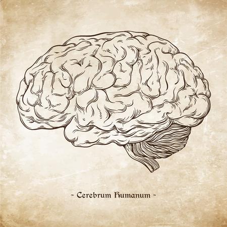 dibujado a mano la línea de arte anatómico correcto del cerebro humano. Da Vinci dibuja estilo sobre fondo de papel ilustración vectorial grunge de edad. Enscription es latino plazo del cerebro humano Ilustración de vector
