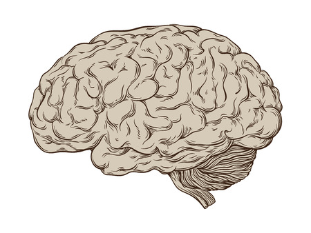 etched: Hand drawn line art anatomically correct human brain. Isolated over white background vector illustration. Illustration