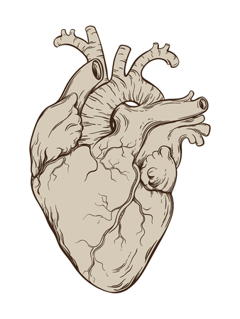 anatomically: Hand drawn line art anatomically correct human heart. Isolated over white background. Vintage tattoo design vector illustration. Illustration