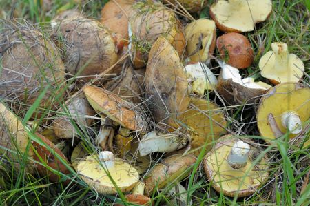 fungus in green grass