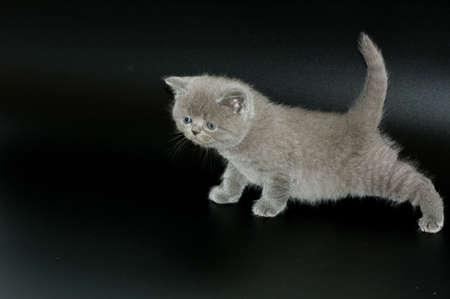 scottish straight: scottish straight kitten