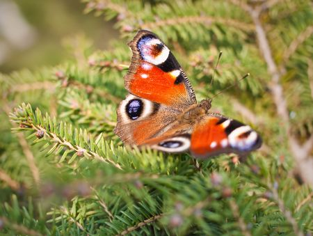 Beautiful european butterfly Inachis Stock Photo