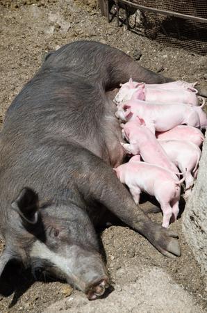 ミルクを吸うピンクの豚と黒豚の広がり。
