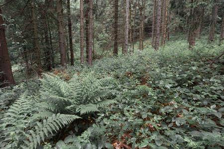 Fern field in a coniferous forest in Bieszczady Mountains, Poland. Stok Fotoğraf