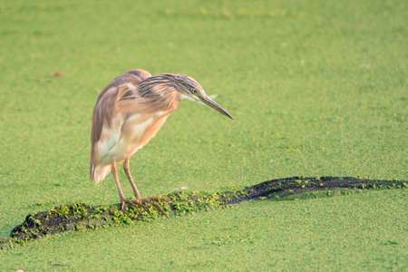 bird sanctuary: Squacco Heron on branch in wetlands - Marievale Bird Sanctuary, Benoni, Gauteng, South Africa
