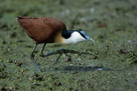 bird sanctuary: African Jacana foraging in a wetland - Marievale Bird Sanctuary, Benoni, Gauteng, South Africa Stock Photo