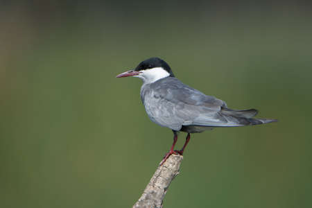 bird sanctuary: Whiskered Tern on a perch - Marievale Bird Sanctuary, Benoni, Gauteng, South Africa