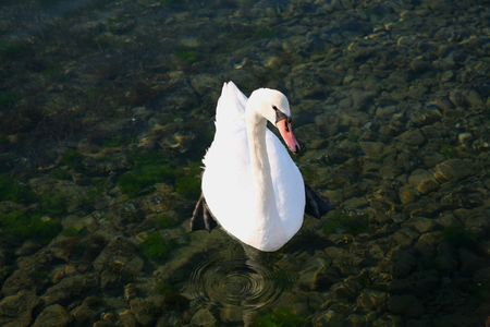 Photo of the swan swimming in the sea.