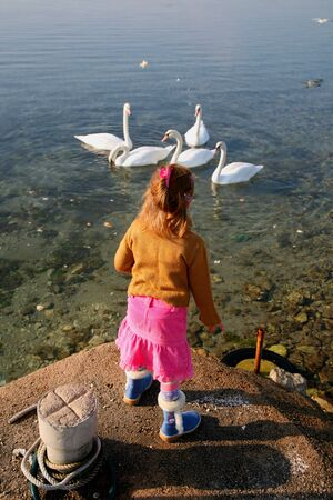 Little girl feeding five swans swimming in the sea
