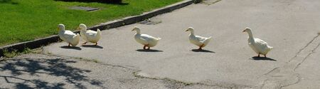 Photo of five ducks crossing the road